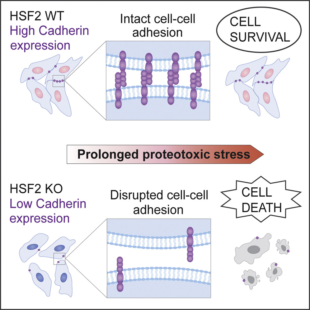 Cells protect themselves against stress by keeping together